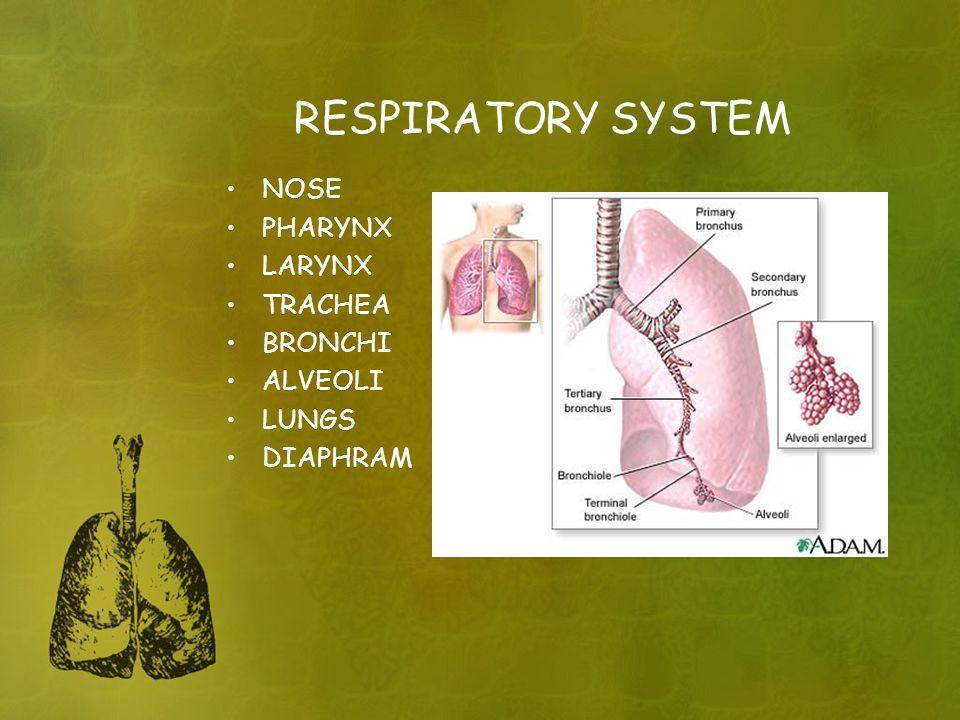 RESPIRATORY SYSTEM NOSE PHARYNX LARYNX TRACHEA BRONCHI ALVEOLI LUNGS DIAPHRAM
