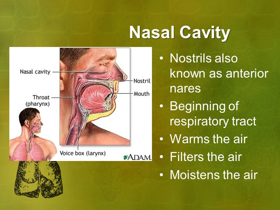 Nasal Cavity Nostrils also known as anterior nares Beginning of respiratory tract Warms the air Filters the air Moistens the air
