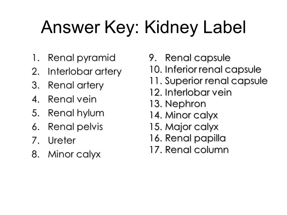 Answer Key: Kidney Label 1.Renal pyramid 2.Interlobar artery 3.Renal artery 4.Renal vein 5.Renal hylum 6.Renal pelvis 7.Ureter 8.Minor calyx 9.Renal c
