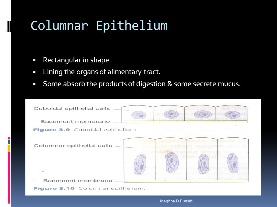 Columnar Epithelium  Rectangular in shape.  Lining the organs of alimentary tract.