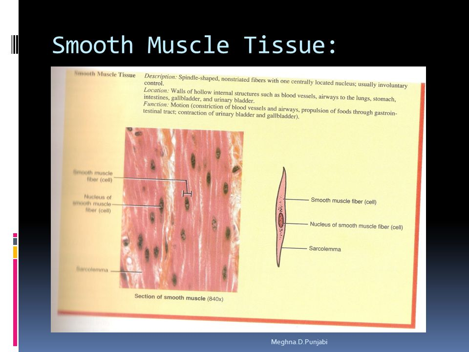 Smooth Muscle Tissue: Meghna.D.Punjabi