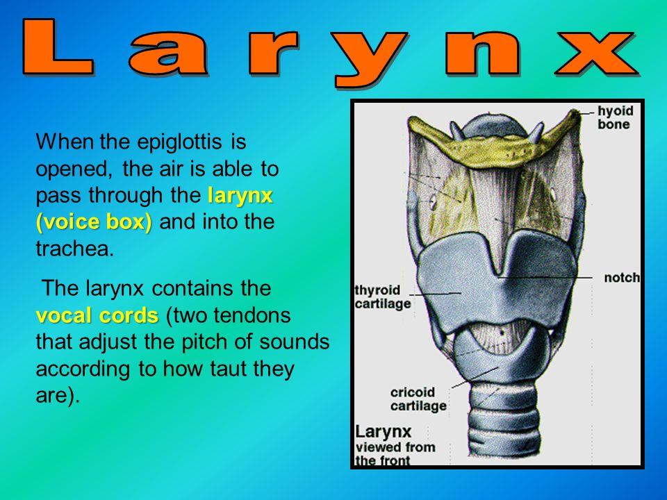 larynx (voice box) When the epiglottis is opened, the air is able to pass through the larynx (voice box) and into the trachea.