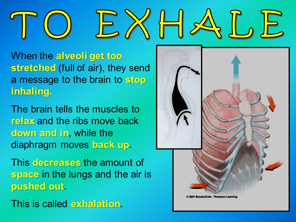 alveoli get too stretched stop inhaling. When the alveoli get too stretched (full of air), they send a message to the brain to stop inhaling. relax do