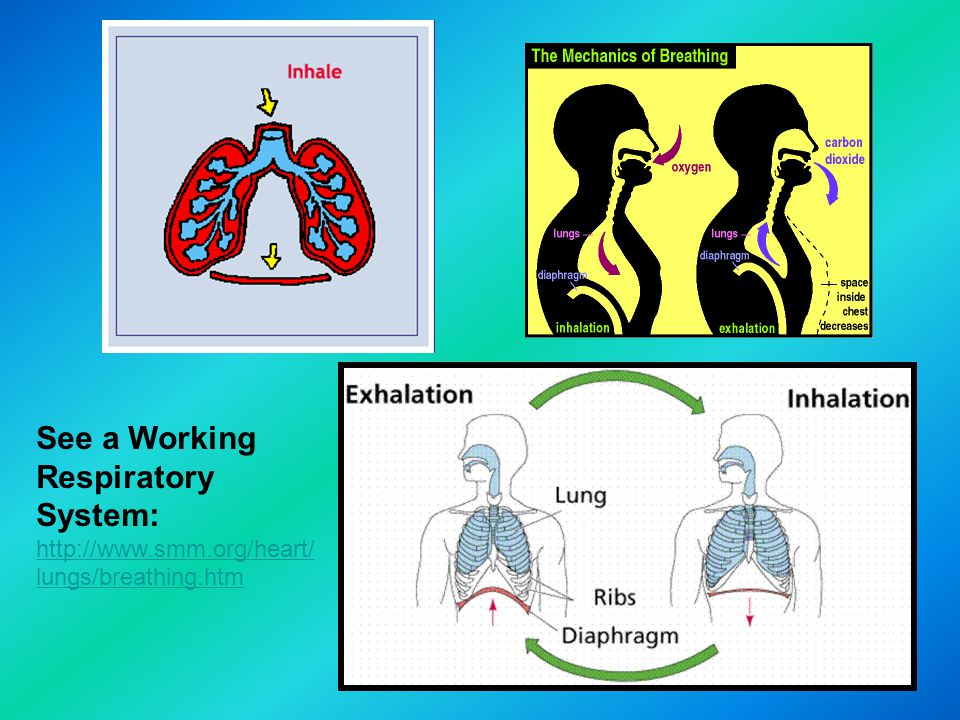 See a Working Respiratory System: http://www.smm.org/heart/ lungs/breathing.htm http://www.smm.org/heart/ lungs/breathing.htm