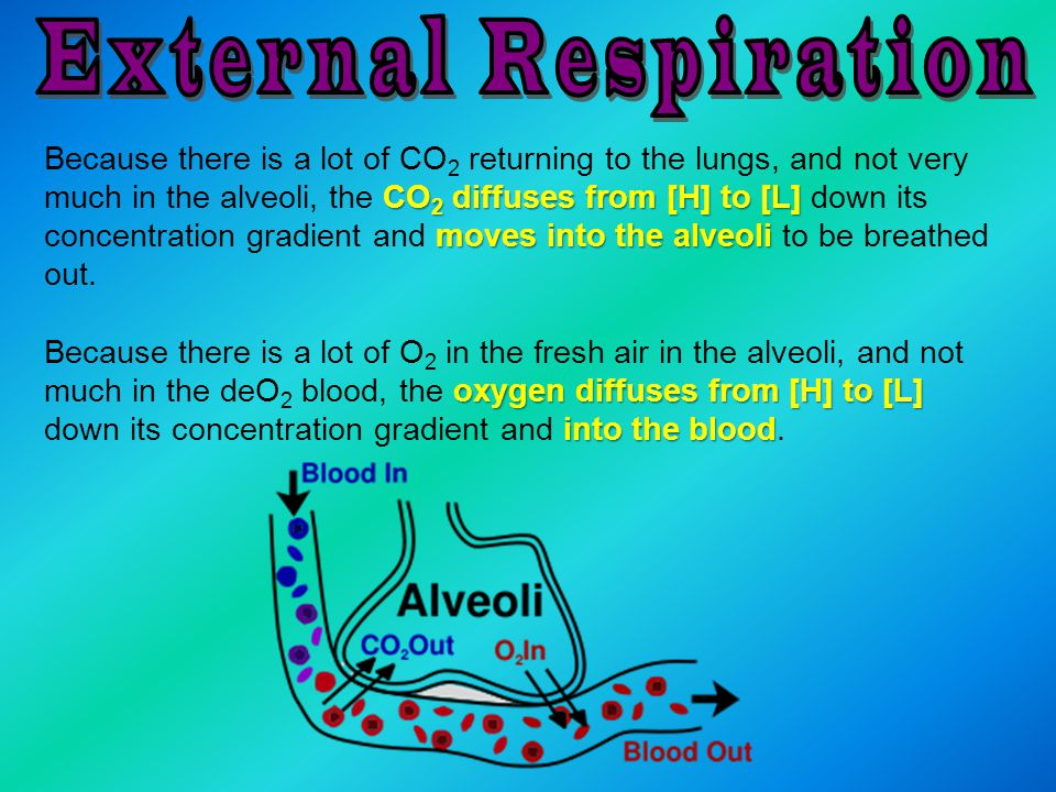 CO 2 diffuses from [H] to [L] moves into the alveoli Because there is a lot of CO 2 returning to the lungs, and not very much in the alveoli, the CO 2