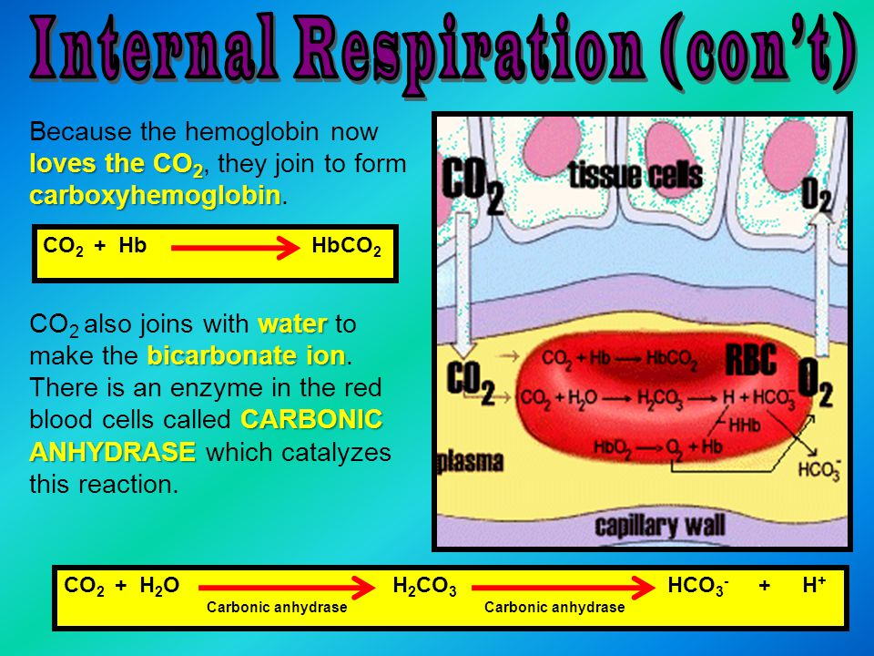 loves the CO 2 carboxyhemoglobin Because the hemoglobin now loves the CO 2, they join to form carboxyhemoglobin. water bicarbonate ion CARBONIC ANHYDR