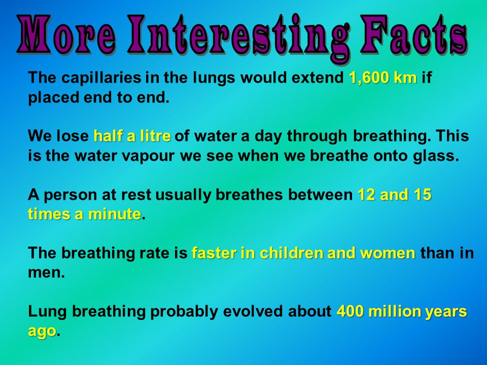 1,600 km The capillaries in the lungs would extend 1,600 km if placed end to end.
