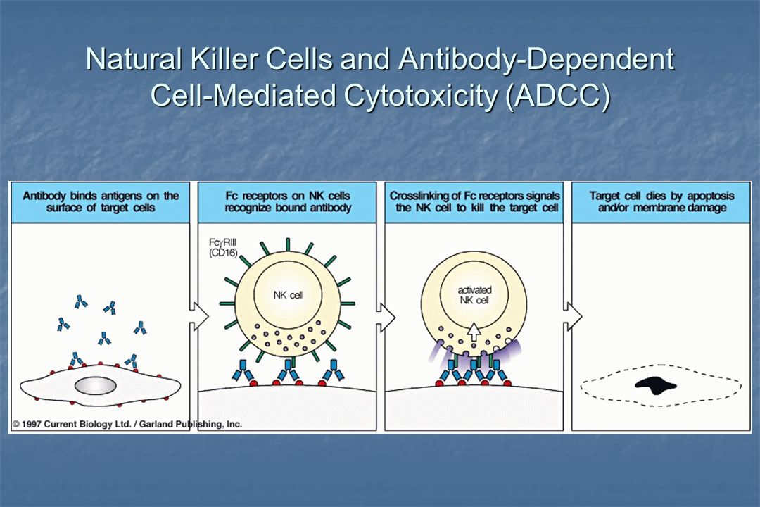 Natural Killer Cells and Antibody-Dependent Cell-Mediated Cytotoxicity (ADCC)