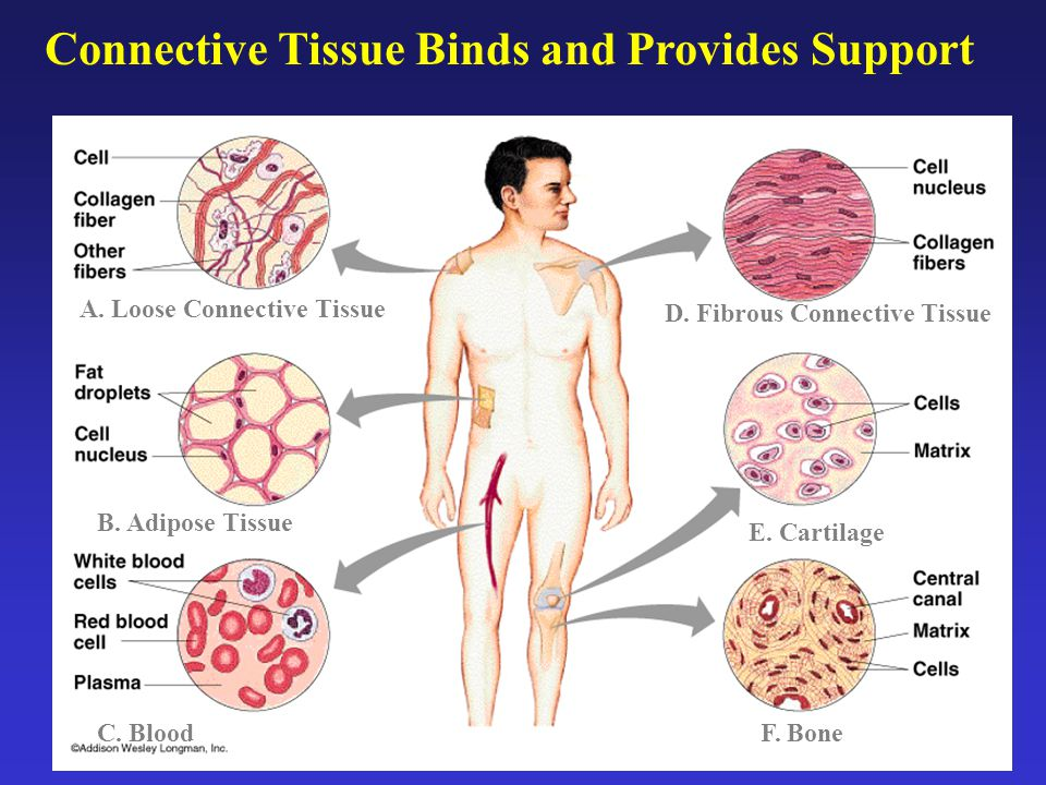 Connective Tissue Binds and Provides Support A.Loose Connective Tissue B.