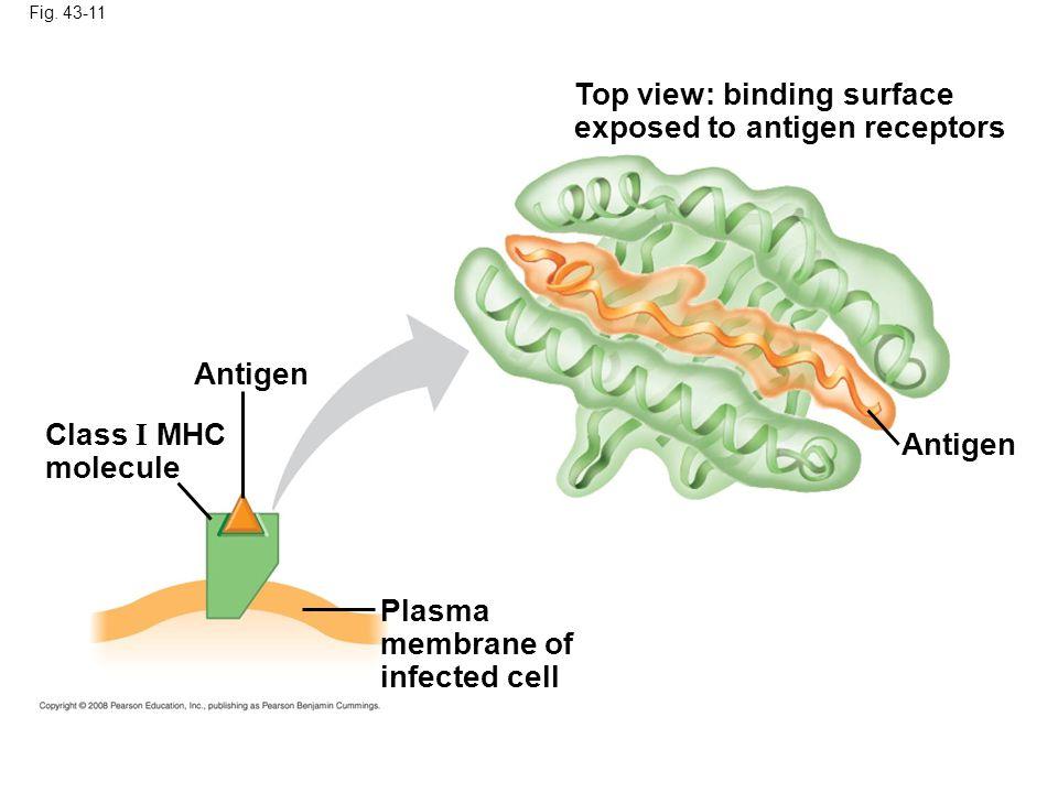 Fig. 43-11 Antigen Top view: binding surface exposed to antigen receptors Plasma membrane of infected cell Antigen Class I MHC molecule