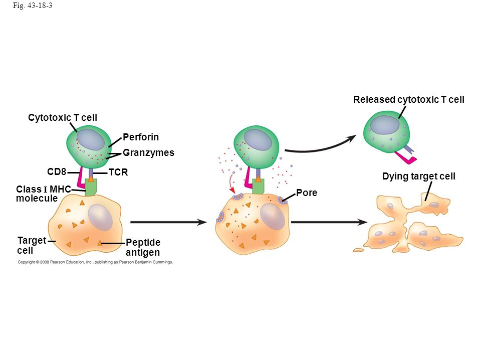 Fig. 43-18-3 Cytotoxic T cell Perforin Granzymes TCR CD8 Class I MHC molecule Target cell Peptide antigen Pore Released cytotoxic T cell Dying target