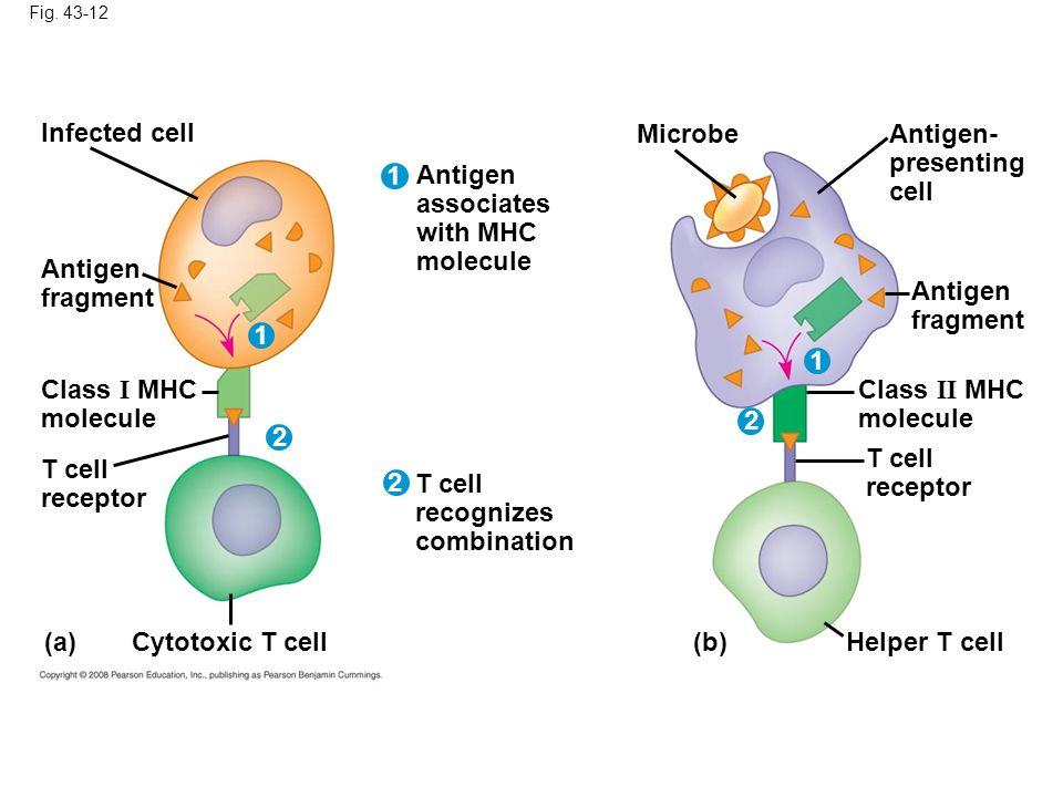 Fig. 43-12 Infected cell Antigen fragment Class I MHC molecule T cell receptor (a) Antigen associates with MHC molecule T cell recognizes combination