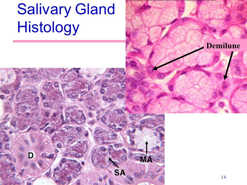 14 Salivary Gland Histology Demilune