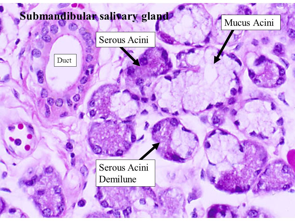 15 Submandibular salivary gland Mucus Acini Serous Acini Serous Acini Demilune Duct
