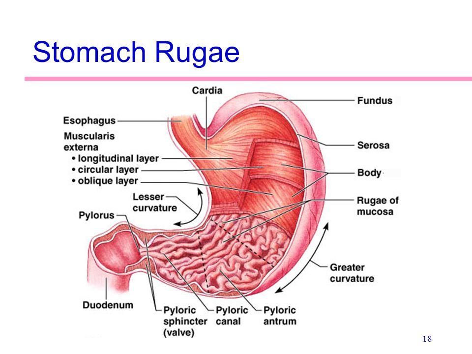 18 Stomach Rugae