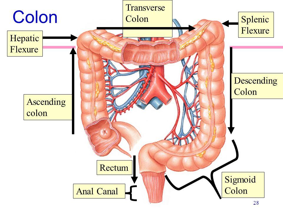 28 Colon Ascending colon Transverse Colon Descending Colon Sigmoid Colon Rectum Anal Canal Hepatic Flexure Splenic Flexure