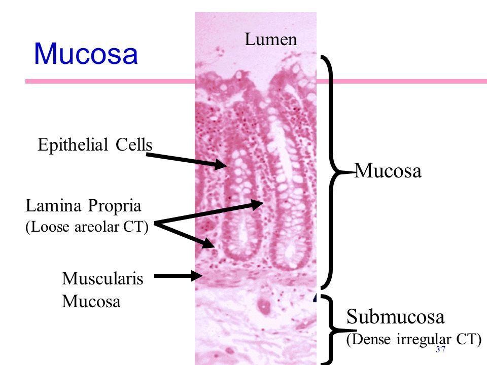 37 Mucosa Lumen Epithelial Cells Lamina Propria (Loose areolar CT) Muscularis Mucosa Mucosa Submucosa (Dense irregular CT)