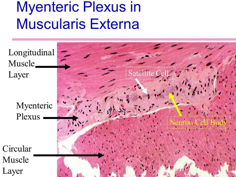 38 Myenteric Plexus in Muscularis Externa Longitudinal Muscle Layer Circular Muscle Layer Myenteric Plexus Satellite Cell Neuron Cell Body