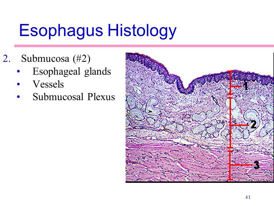 41 Esophagus Histology 2.Submucosa (#2) Esophageal glands Vessels Submucosal Plexus