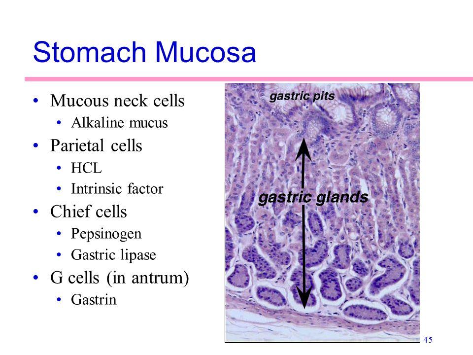 45 Stomach Mucosa Mucous neck cells Alkaline mucus Parietal cells HCL Intrinsic factor Chief cells Pepsinogen Gastric lipase G cells (in antrum) Gastr