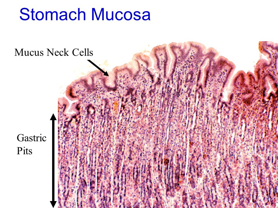 46 Stomach Mucosa Gastric Pits Mucus Neck Cells