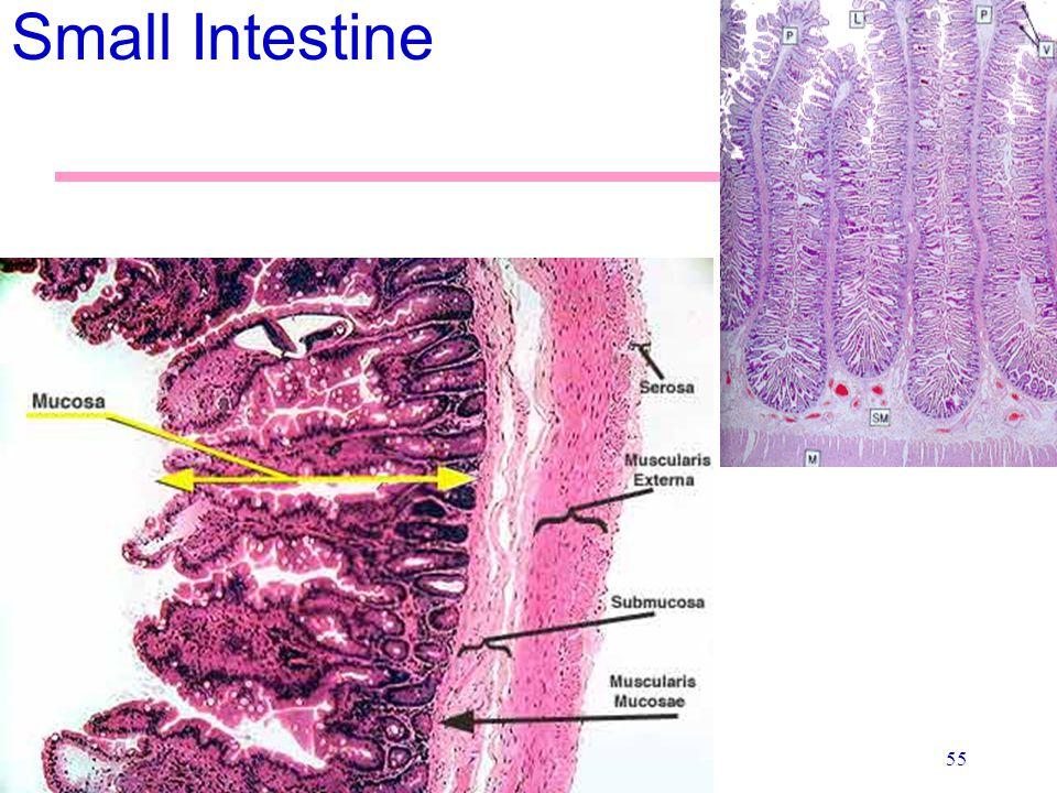 55 Small Intestine