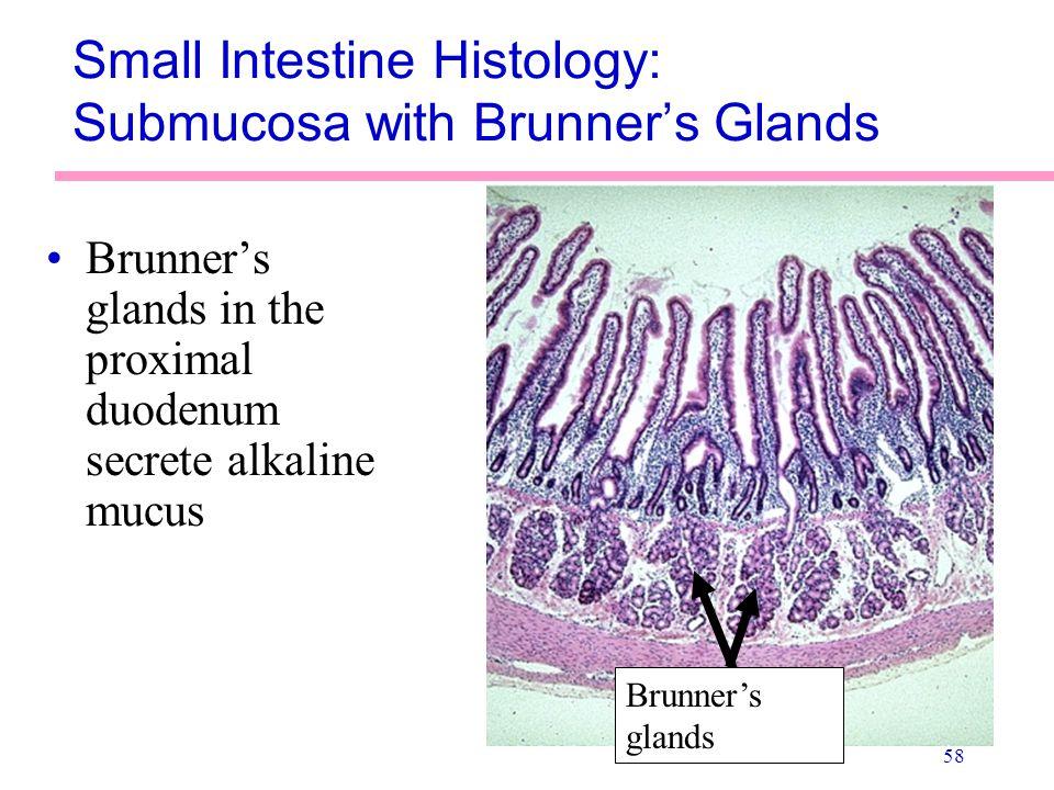 58 Small Intestine Histology: Submucosa with Brunner's Glands Brunner's glands in the proximal duodenum secrete alkaline mucus Brunner's glands