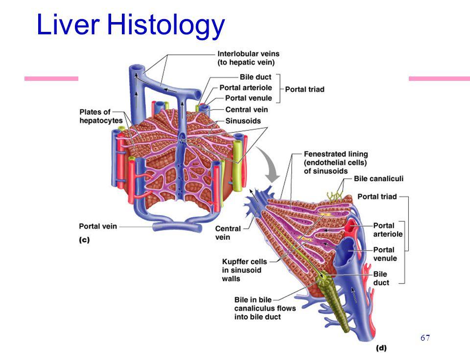 67 Liver Histology