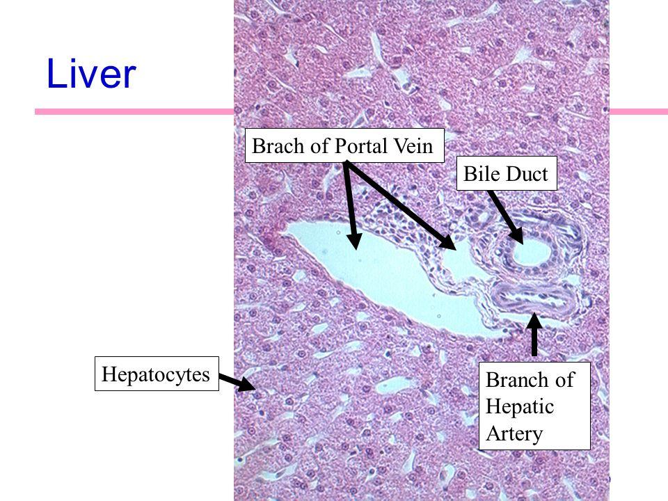 70 Liver Bile Duct Brach of Portal Vein Branch of Hepatic Artery Hepatocytes