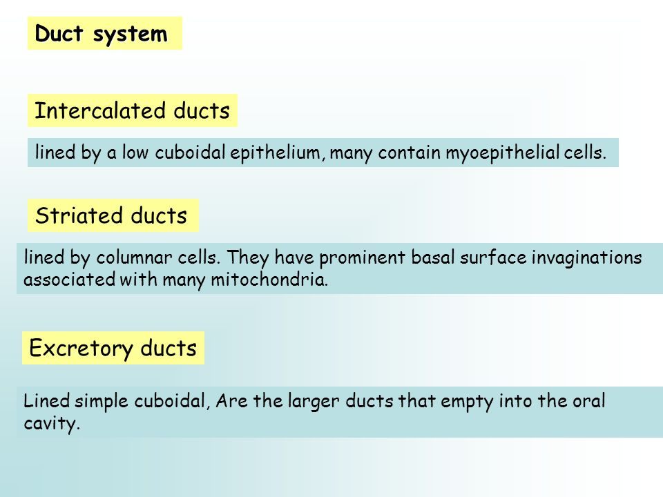 Duct system Intercalated ducts Striated ducts Excretory ducts lined by a low cuboidal epithelium, many contain myoepithelial cells. lined by columnar