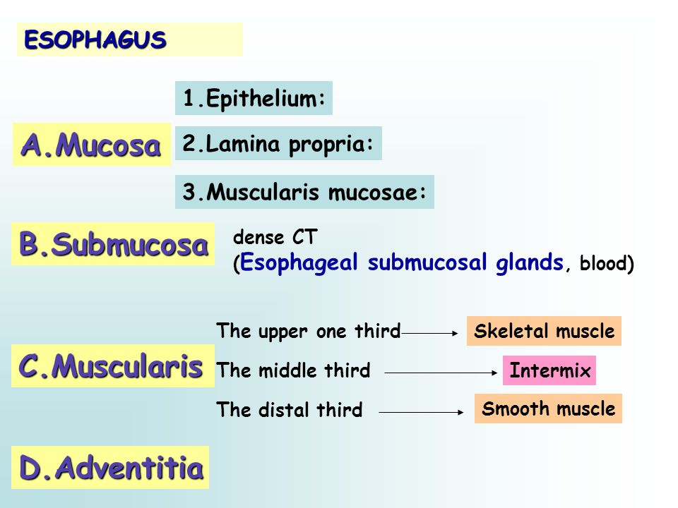 ESOPHAGUS A.Mucosa 2.Lamina propria: B.Submucosa C.Muscularis D.Adventitia 1.Epithelium: Skeletal muscle dense CT ( Esophageal submucosal glands, bloo