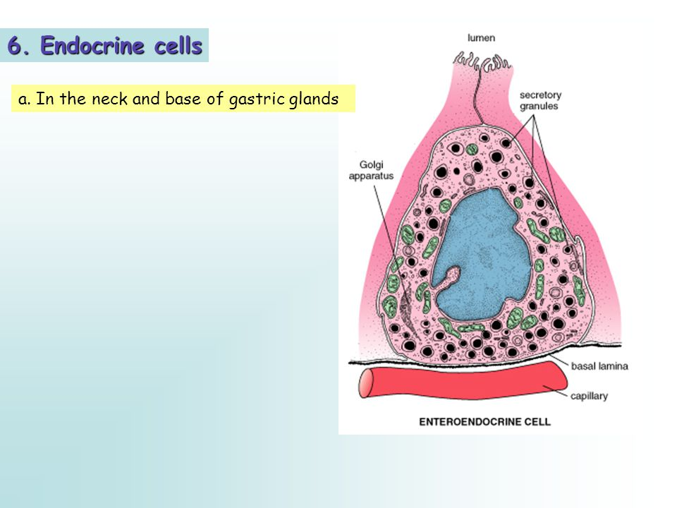 6. Endocrine cells a. In the neck and base of gastric glands