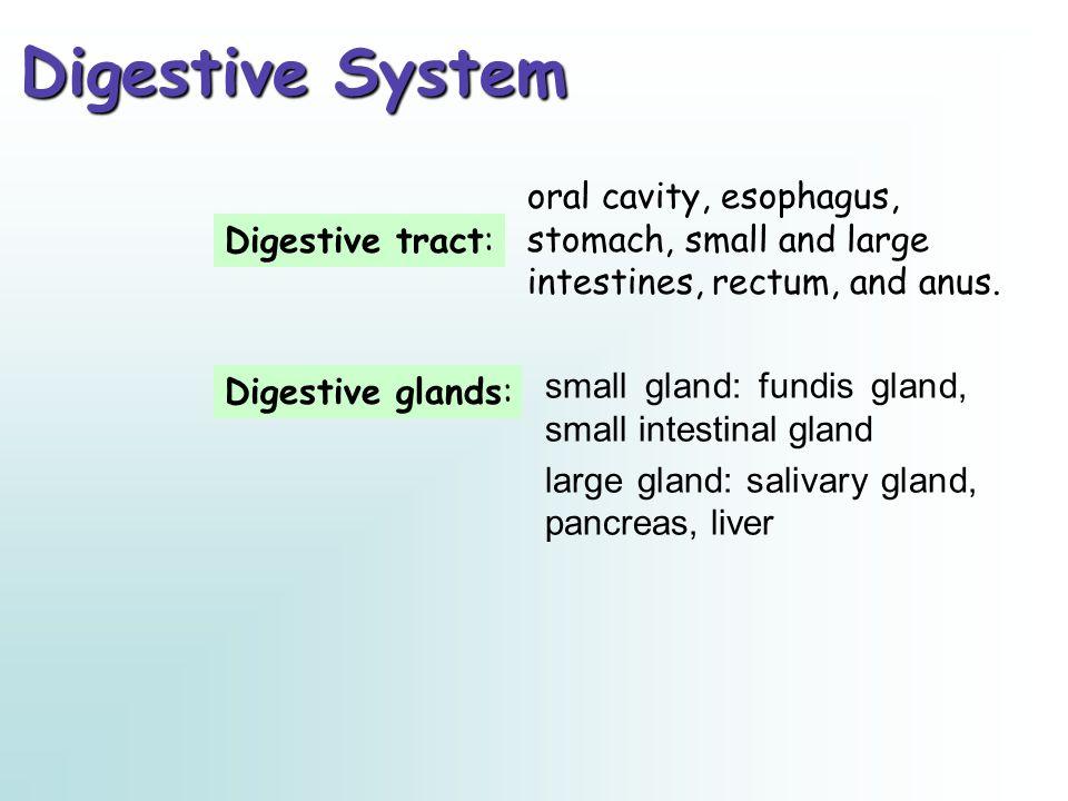 B.Mucosa 1. The epithelium of intestine villi 2. Intestinal glands (intestinal crypts) 3.