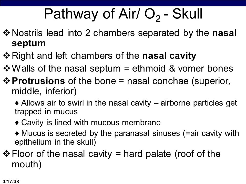 3/17/08 Pathway of Air/ O 2 - Skull  Nostrils lead into 2 chambers separated by the nasal septum  Right and left chambers of the nasal cavity  Walls of the nasal septum = ethmoid & vomer bones  Protrusions of the bone = nasal conchae (superior, middle, inferior) ♦Allows air to swirl in the nasal cavity – airborne particles get trapped in mucus ♦Cavity is lined with mucous membrane ♦Mucus is secreted by the paranasal sinuses (=air cavity with epithelium in the skull)  Floor of the nasal cavity = hard palate (roof of the mouth)