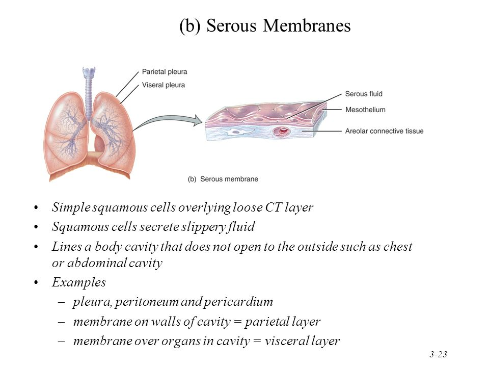 3-23 (b) Serous Membranes Simple squamous cells overlying loose CT layer Squamous cells secrete slippery fluid Lines a body cavity that does not open to the outside such as chest or abdominal cavity Examples –pleura, peritoneum and pericardium –membrane on walls of cavity = parietal layer –membrane over organs in cavity = visceral layer