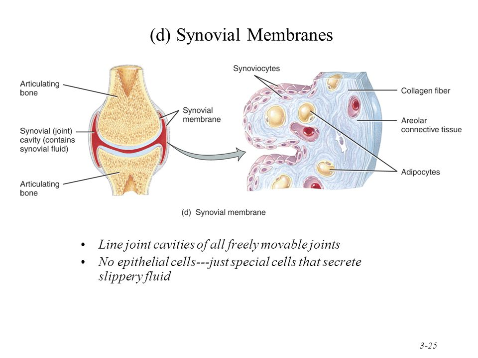 3-25 (d) Synovial Membranes Line joint cavities of all freely movable joints No epithelial cells---just special cells that secrete slippery fluid