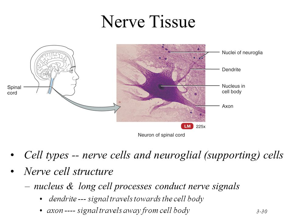 3-30 Nerve Tissue Cell types -- nerve cells and neuroglial (supporting) cells Nerve cell structure –nucleus & long cell processes conduct nerve signals dendrite --- signal travels towards the cell body axon ---- signal travels away from cell body