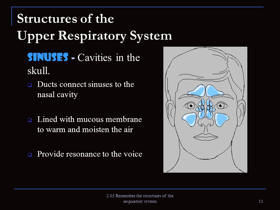 2.05 Remember the structures of the respiratory system 11 Structures of the Upper Respiratory System Sinuses - Cavities in the skull.  Ducts connect