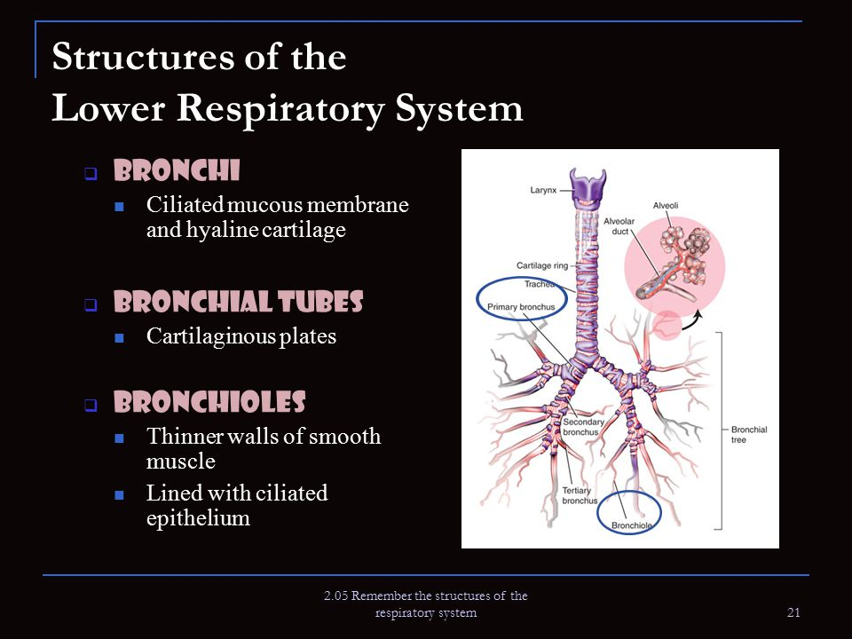 2.05 Remember the structures of the respiratory system 21 Structures of the Lower Respiratory System  Bronchi Ciliated mucous membrane and hyaline ca