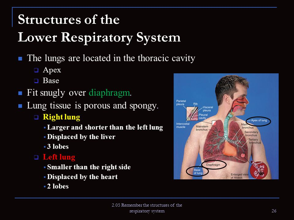 2.05 Remember the structures of the respiratory system 26 Structures of the Lower Respiratory System The lungs are located in the thoracic cavity  Ap