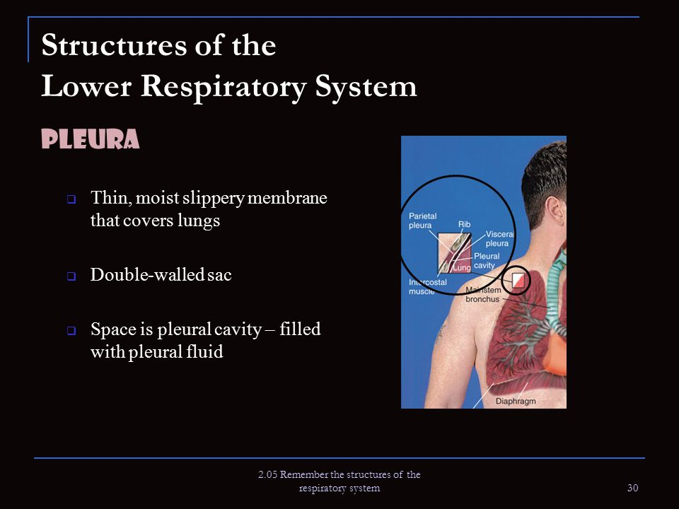 2.05 Remember the structures of the respiratory system 30 Structures of the Lower Respiratory System Pleura  Thin, moist slippery membrane that cover