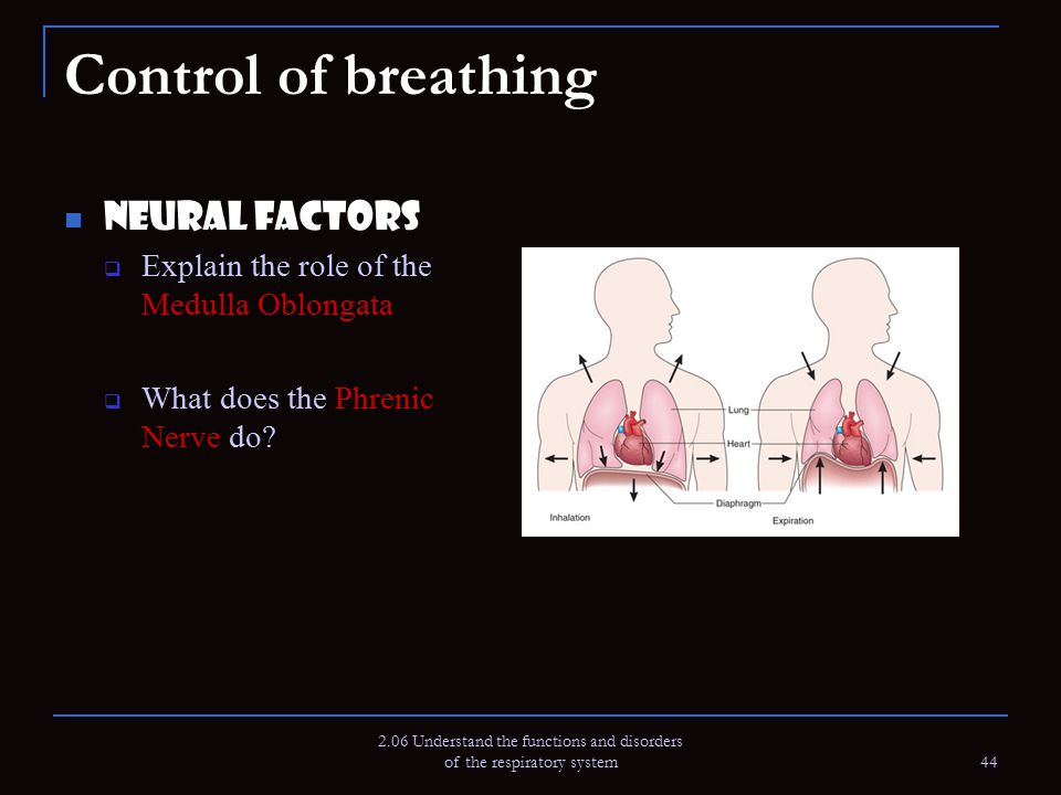 2.06 Understand the functions and disorders of the respiratory system 44 Control of breathing Neural Factors  Explain the role of the Medulla Oblonga