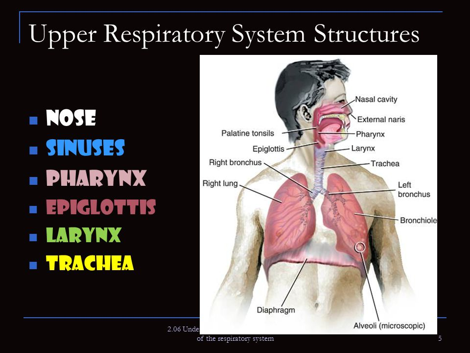 Upper Respiratory System Structures Nose Sinuses Pharynx Epiglottis Larynx Trachea 2.06 Understand the functions and disorders of the respiratory syst