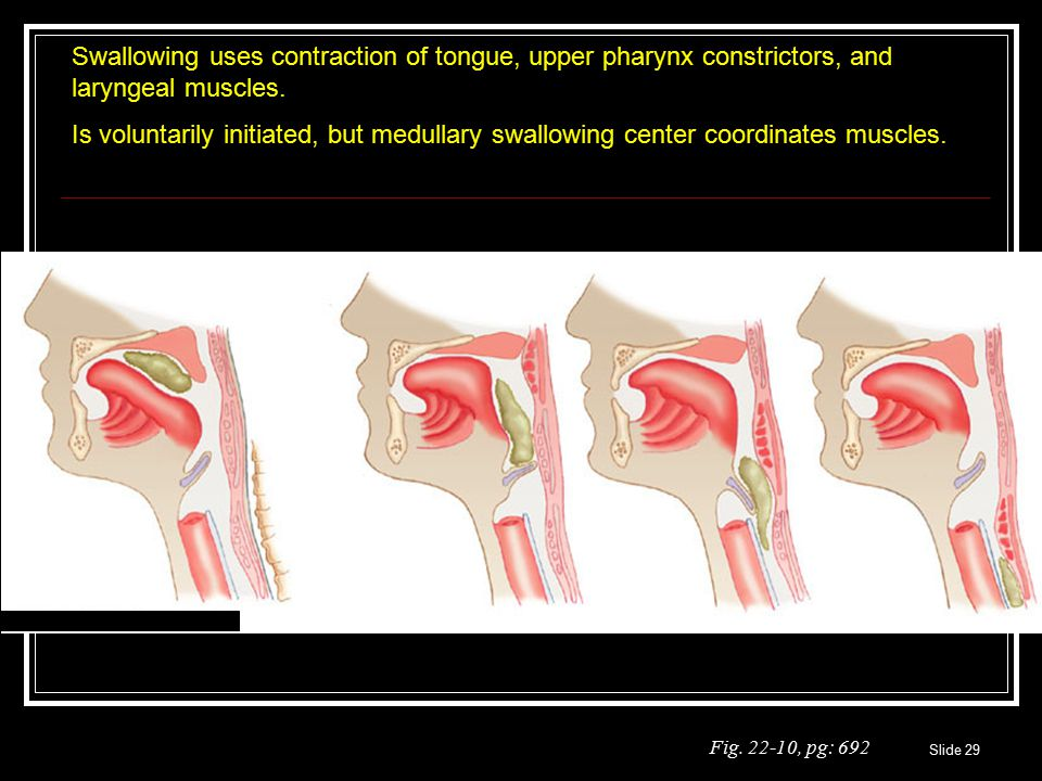 Slide 29 Fig. 22-10, pg: 692 Swallowing uses contraction of tongue, upper pharynx constrictors, and laryngeal muscles. Is voluntarily initiated, but m