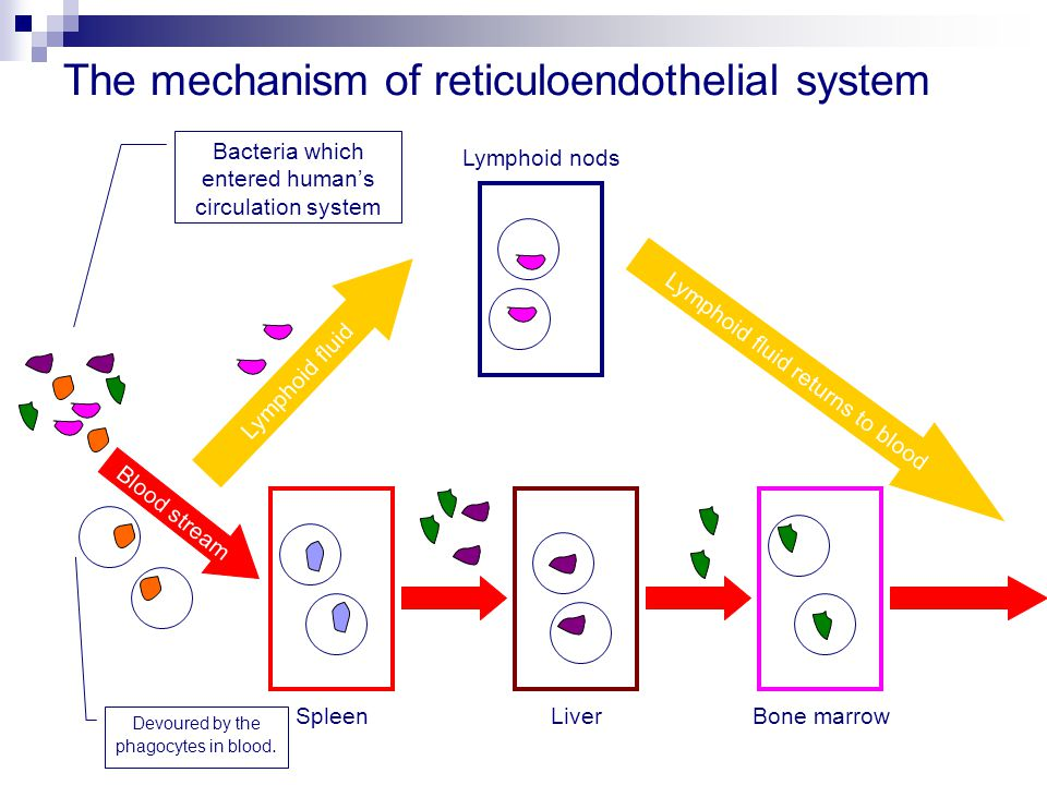 The mechanism of reticuloendothelial system Blood stream Lymphoid fluid Lymphoid fluid returns to blood LiverSpleenBone marrow Lymphoid nods Bacteria which entered human's circulation system Devoured by the phagocytes in blood.