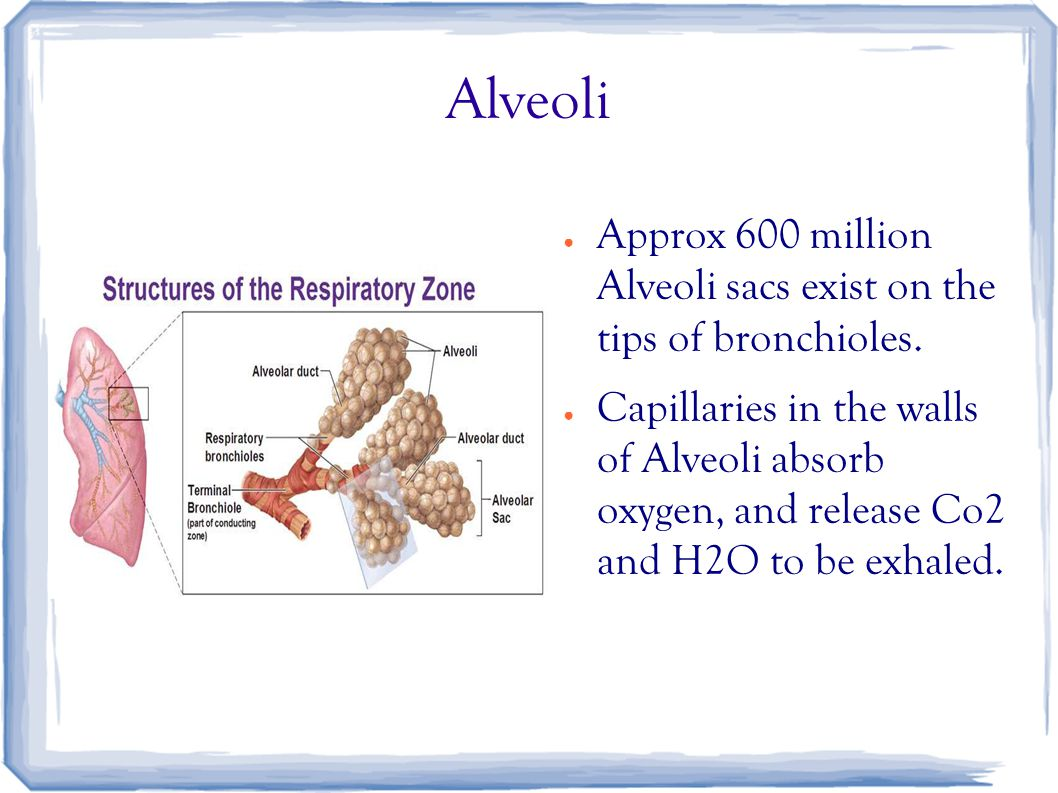 Alveoli ● Approx 600 million Alveoli sacs exist on the tips of bronchioles. ● Capillaries in the walls of Alveoli absorb oxygen, and release Co2 and H