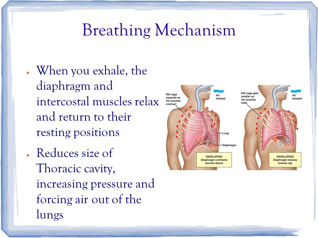 Breathing Mechanism ● When you exhale, the diaphragm and intercostal muscles relax and return to their resting positions ● Reduces size of Thoracic cavity, increasing pressure and forcing air out of the lungs