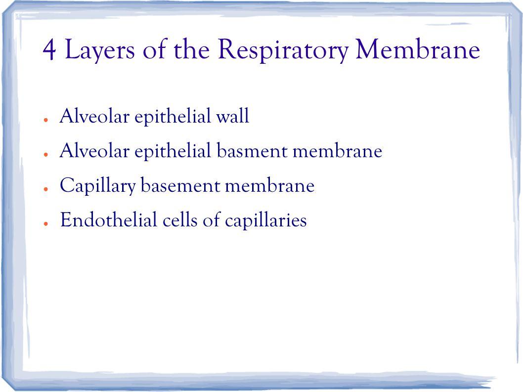 4 Layers of the Respiratory Membrane ● Alveolar epithelial wall ● Alveolar epithelial basment membrane ● Capillary basement membrane ● Endothelial cells of capillaries