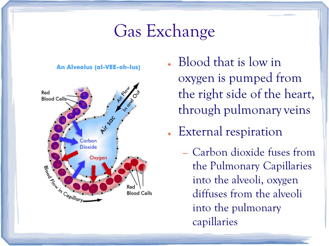 Gas Exchange ● Blood that is low in oxygen is pumped from the right side of the heart, through pulmonary veins ● External respiration – Carbon dioxide fuses from the Pulmonary Capillaries into the alveoli, oxygen diffuses from the alveoli into the pulmonary capillaries