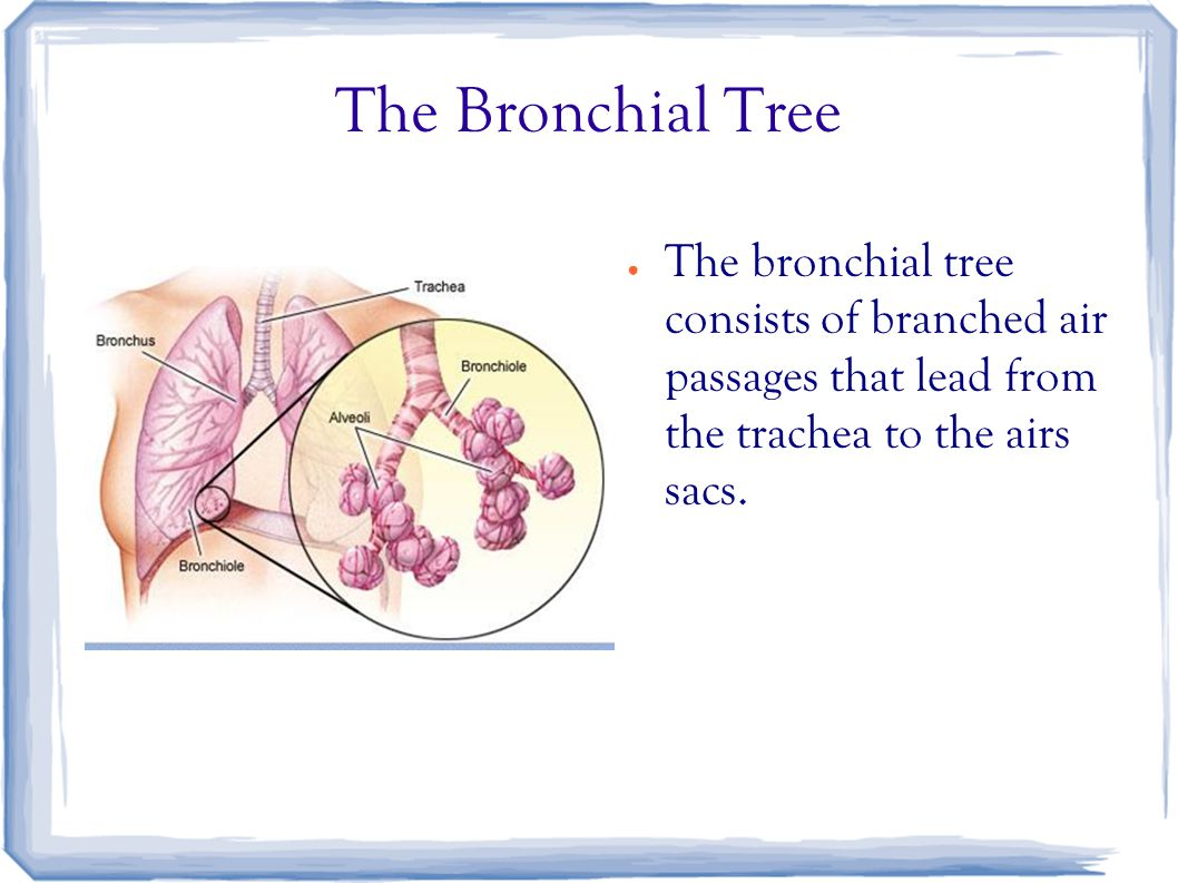 The Bronchial Tree ● The bronchial tree consists of branched air passages that lead from the trachea to the airs sacs.